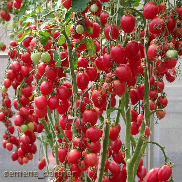 сорт помидор малиновое пламя