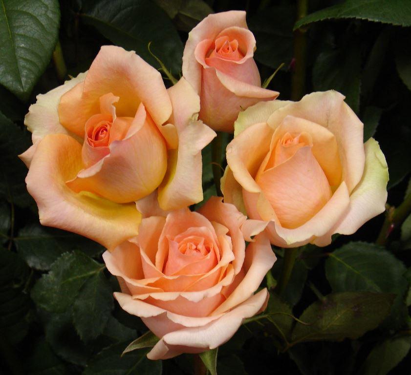вяжется розы в картинках отзывы способ получил