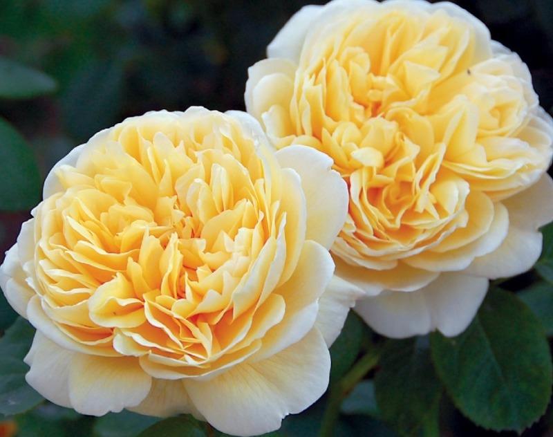 роза шарлотта отзывы фото вдруг