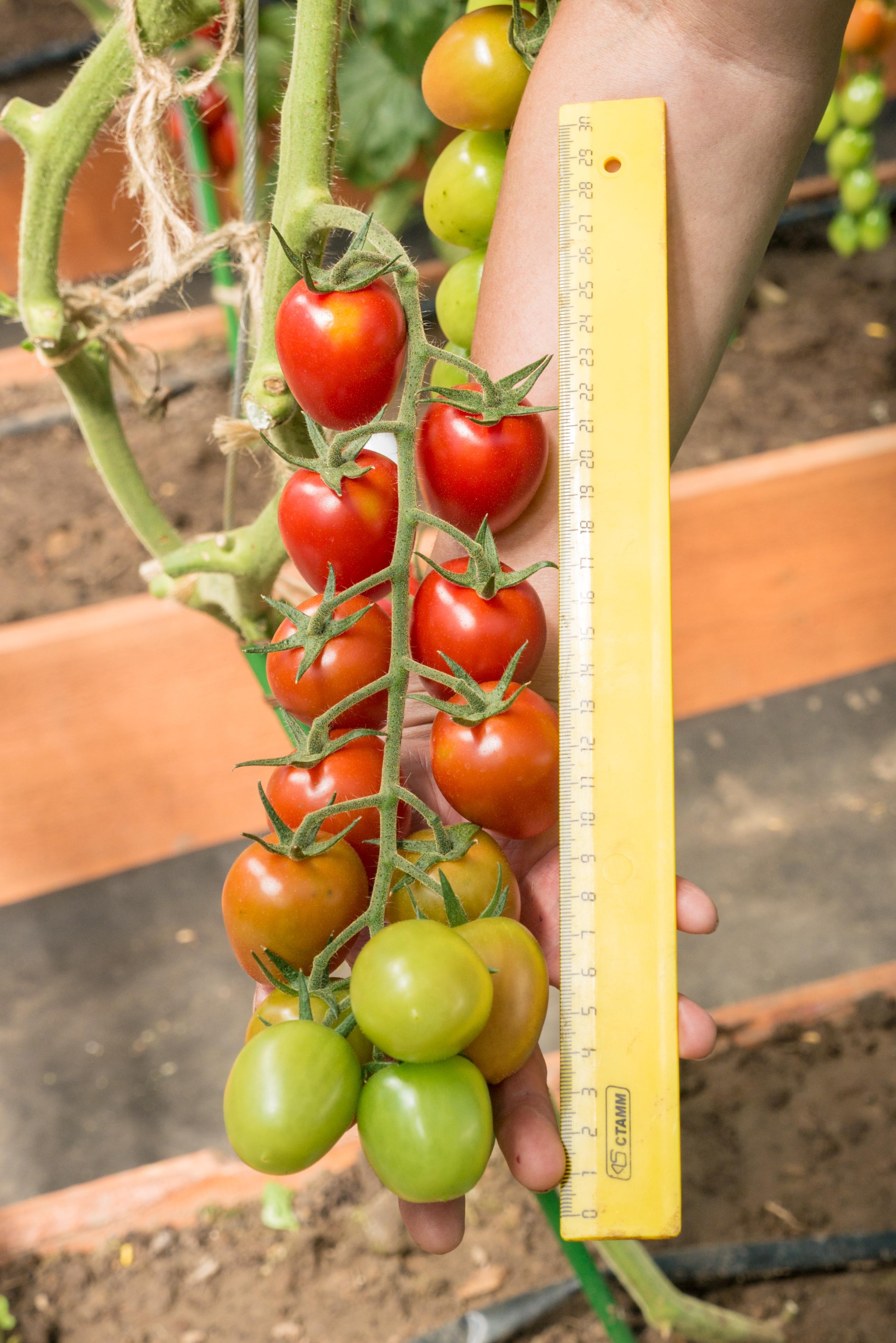 фрагменты томаты ромус отзывы и фото завершении поведаем вам