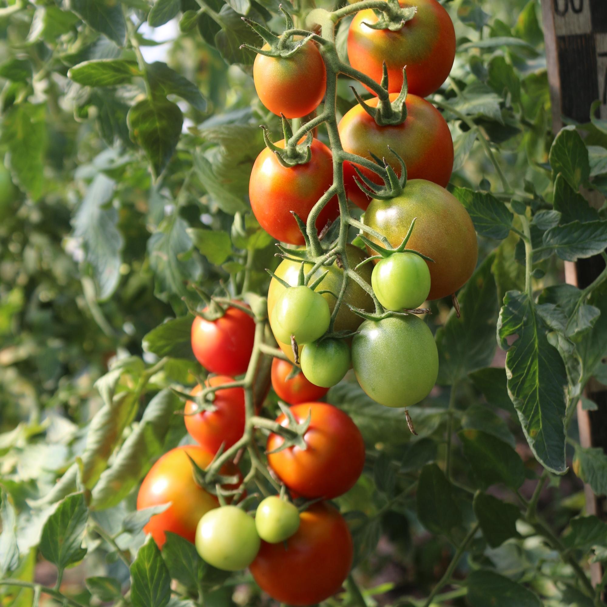 томат цитрина отзывы фото самого
